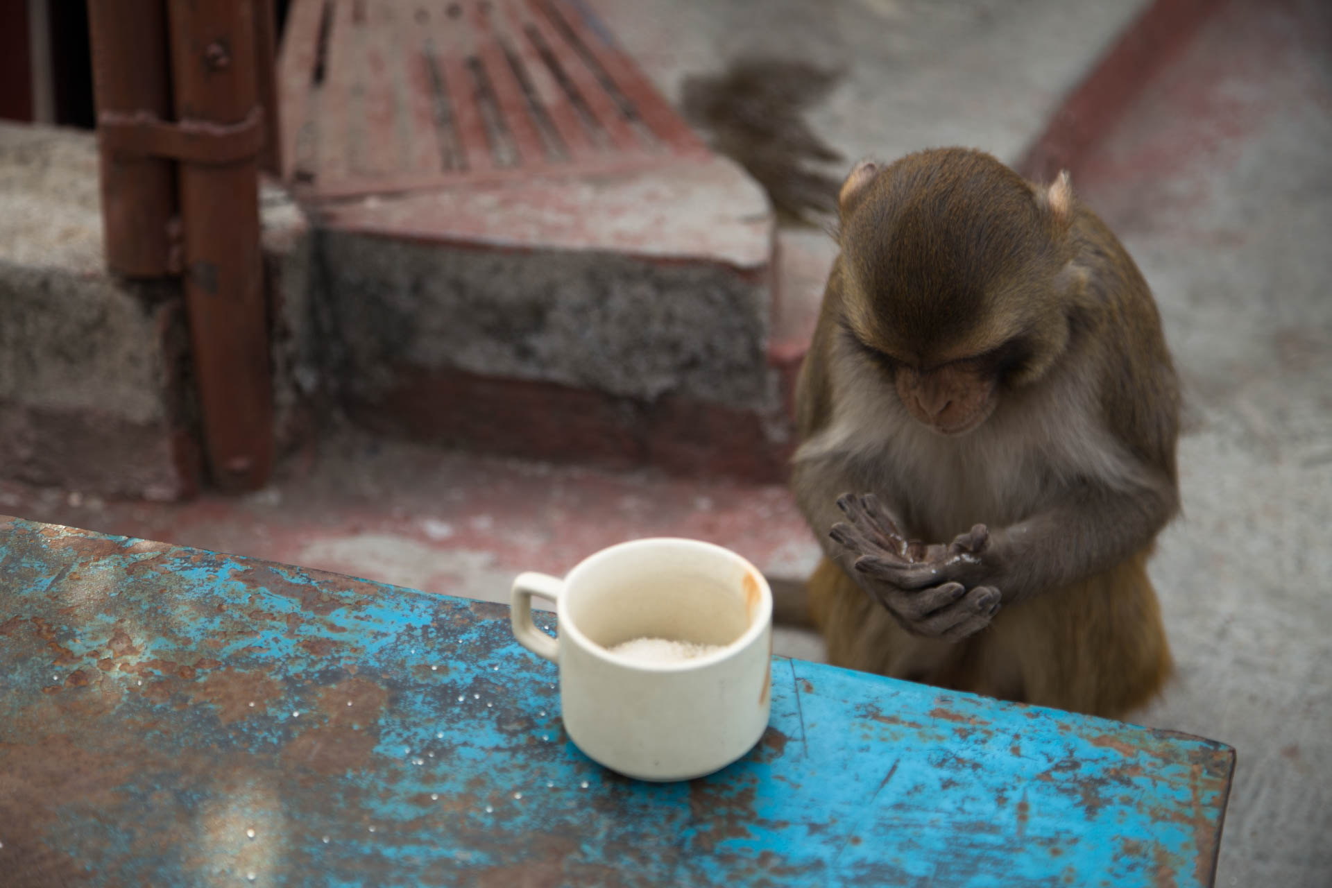 sugar monkey