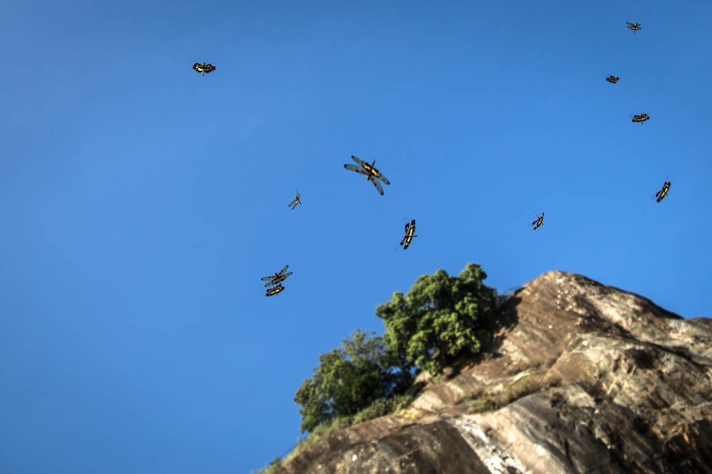 Libellen in Sigiriya
