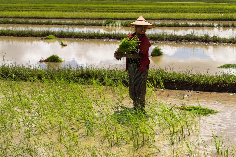 Reisfeldarbeit