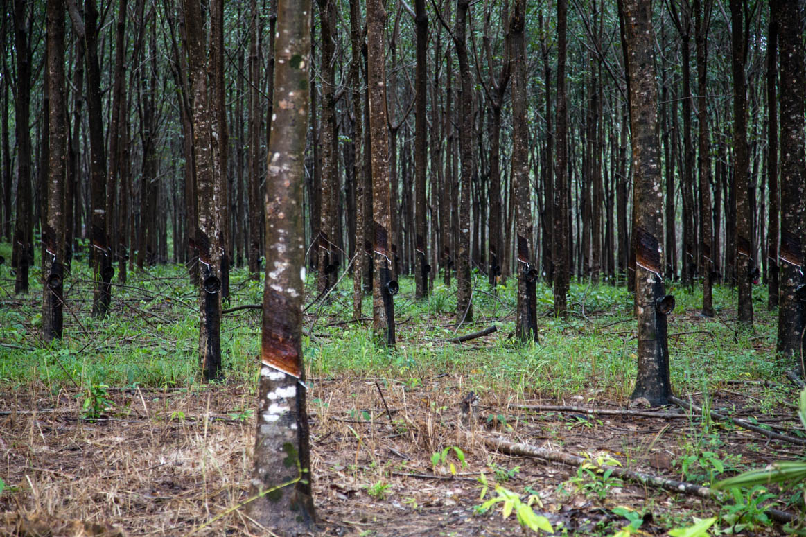 Rubber farms on the way