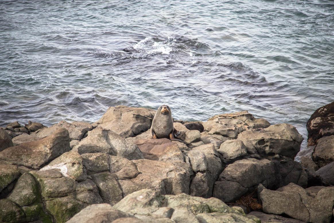Seehunde bei Katiki