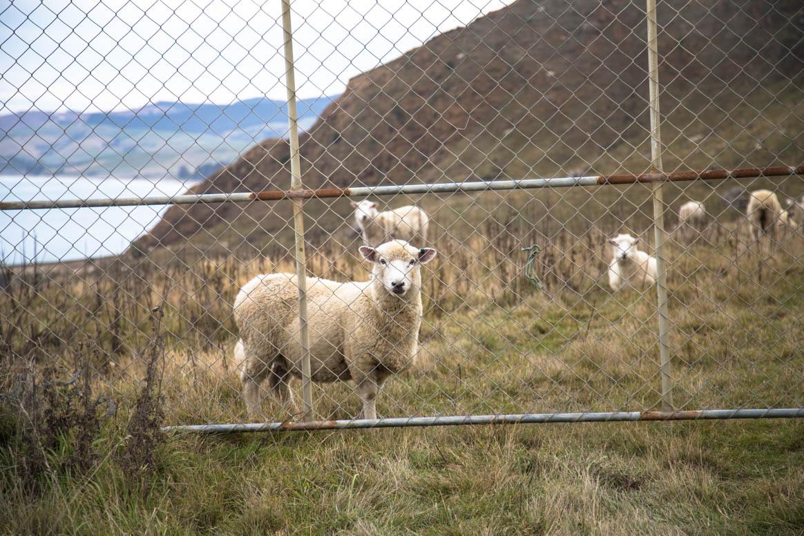 Schaf hinter Gitter
