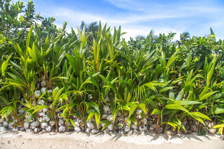 Kokosnuss Zaun